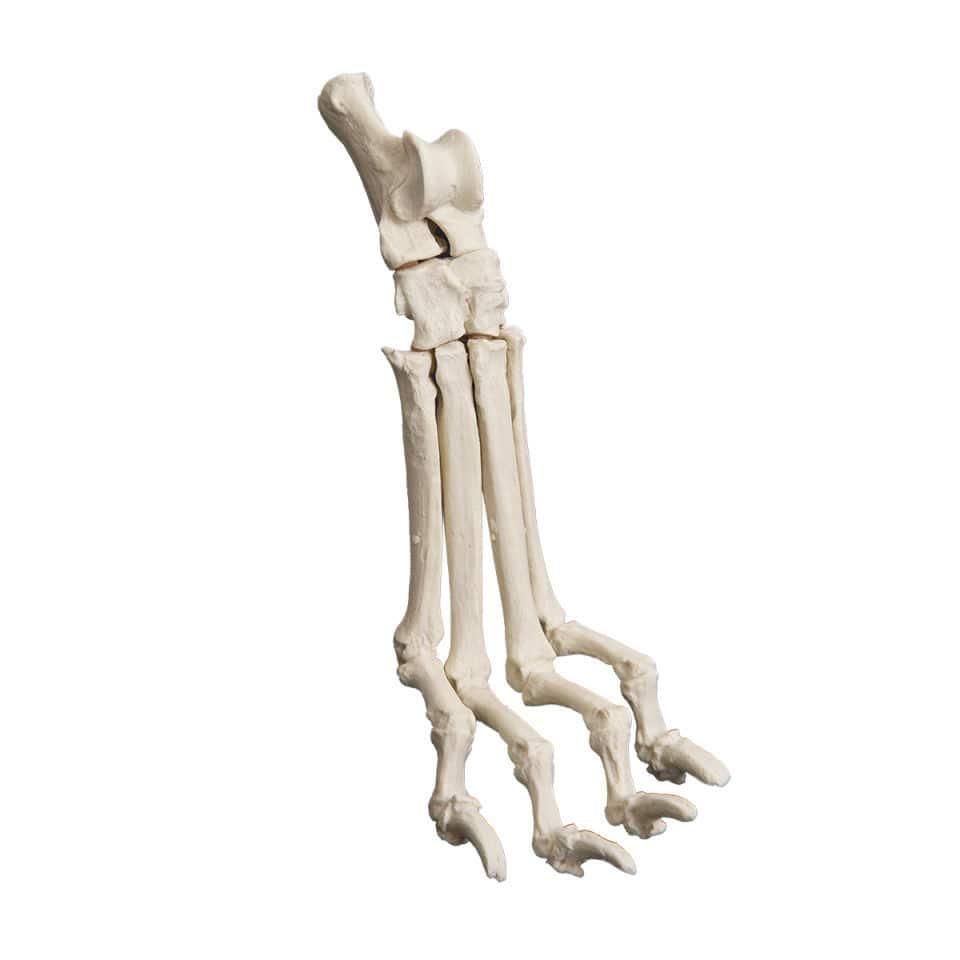 Tarsal Bone Anatomical Model Surgical Training Canine Av270