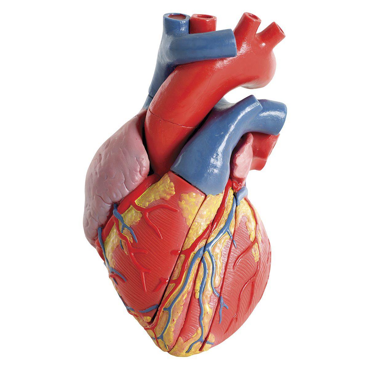 Heart Anatomy Model Image Collections Human Body Anatomy