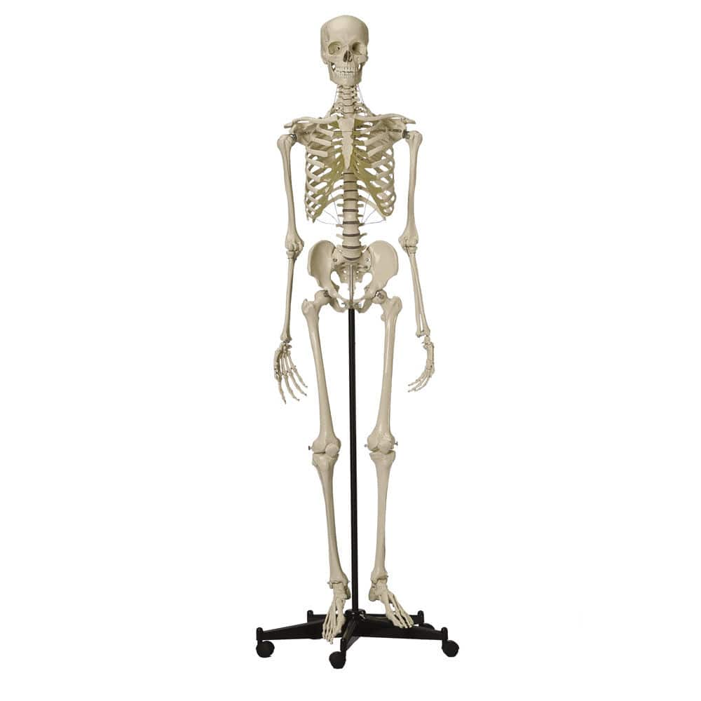 Whole body anatomical model / skeleton / for teaching / articulated ...