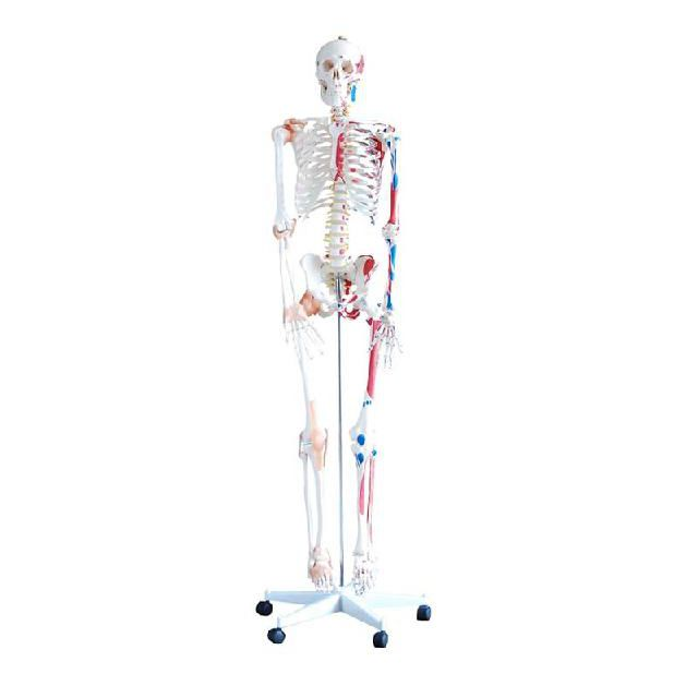 Skeleton Model For Teaching With Muscle Marking Yal011b
