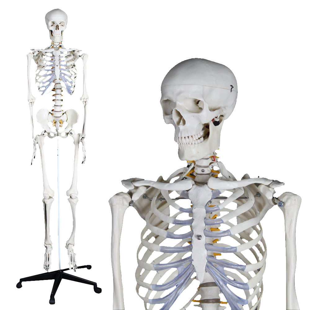 Skeleton model / for teaching / articulated - YA/L011 - YUAN ...