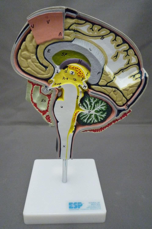 Brain model / for teaching - ZKH-266-N - Educational + Scientific ...
