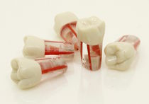 Tooth model / for teaching / for endodontics