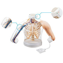 Intramuscular injection simulator / human / torso