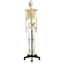 Skeleton model / for teaching