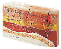 Skin anatomical model / pathological / decubitus ulcer treatment