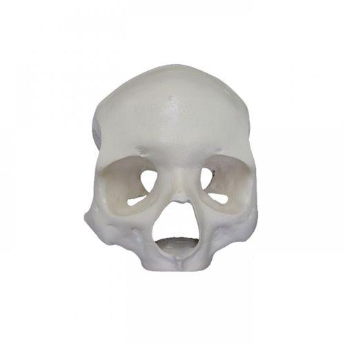 skull model / training