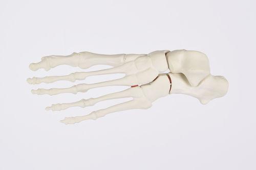 foot model / for teaching