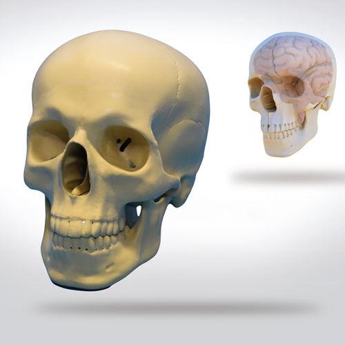 brain model / skull / for teaching