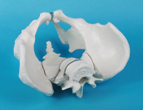 anatomical model with sacrum / pelvis / skeleton / for teaching