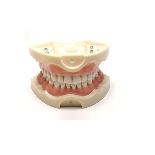 mouth anatomical model / training