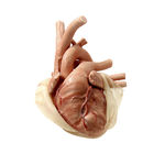 heart model / cardiac surgery / for thoracic surgery / child