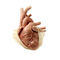 heart model / cardiac surgery / for thoracic surgery / child4108The Chamberlain Group