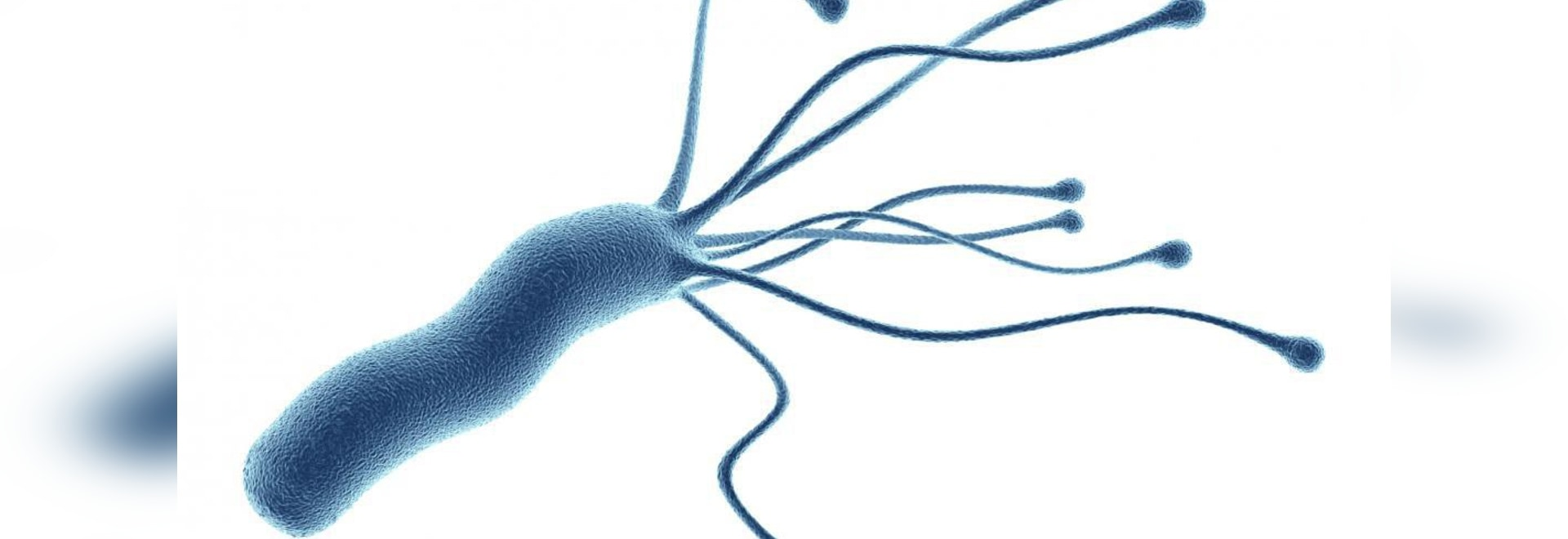 How do H. pylori (pictured above) colonize humans so successfully?