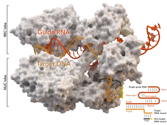 CRISPR-associated protein Cas9 (white) from Staphylococcus aureus based on Protein Database ID 5AXW