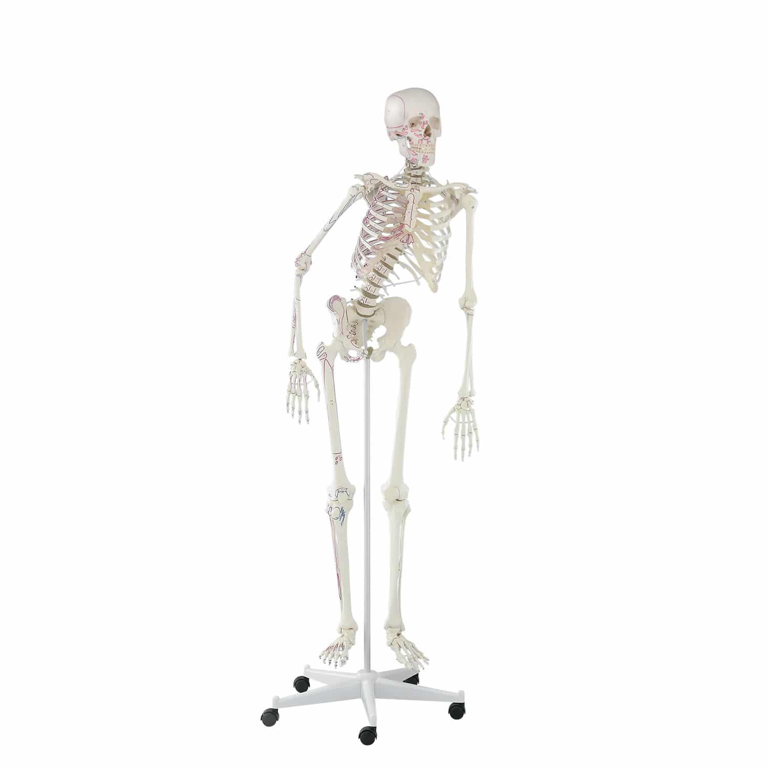Skeleton model / for teaching / articulated / with muscle