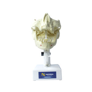 mandible model / maxilla / denture / training