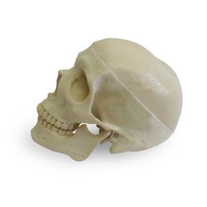 skull model