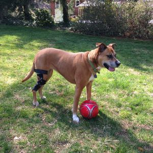 dog veterinary orthosis