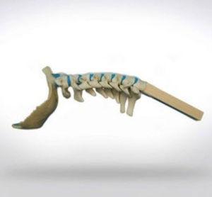cervical spine model / for teaching / for implantology