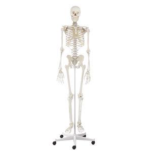 skeleton model / for teaching / articulated