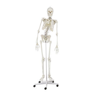 skeleton model / for teaching / articulated / with flexible spine