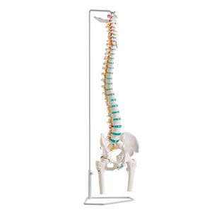 spine anatomical model / training / flexible