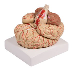 artery model / brain / for teaching