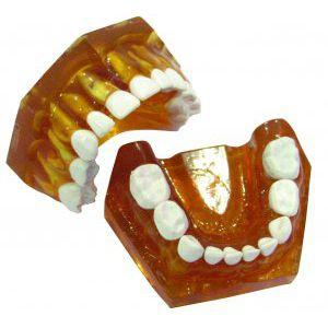 jaw typodont
