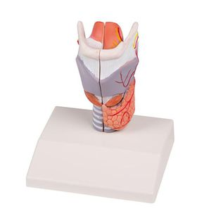 larynx model / for teaching / with nerves / with blood vessels