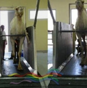 horse veterinary treadmill