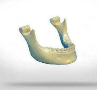 mandible model / bone / for teaching / for implantology
