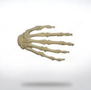 skeleton model / hand / for teaching