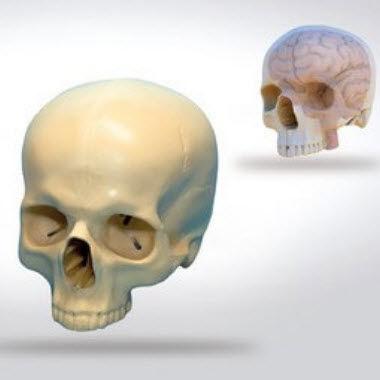 skull model / brain / for teaching / neurosurgery