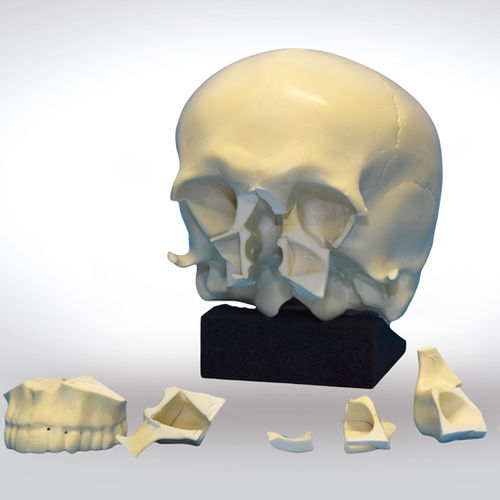 skull model / for teaching / for implantology / craniotomy