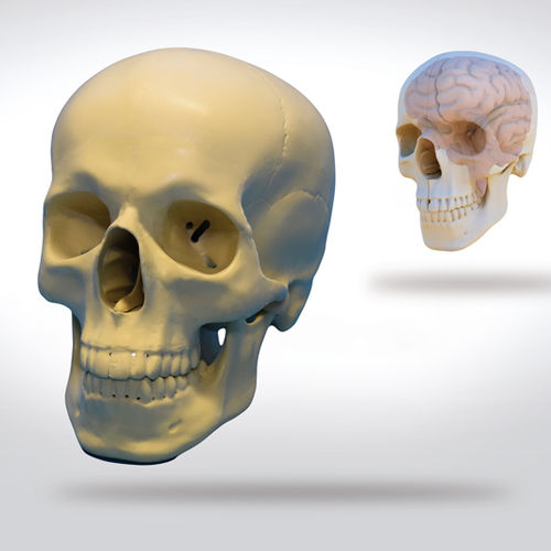 skull model / brain / for teaching