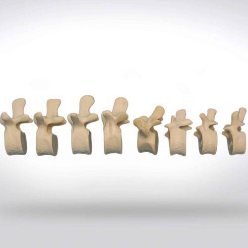 spine anatomical model / vertebra / for teaching / for implantology