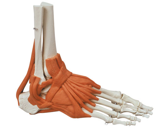skeleton model / foot / for teaching / with musculature