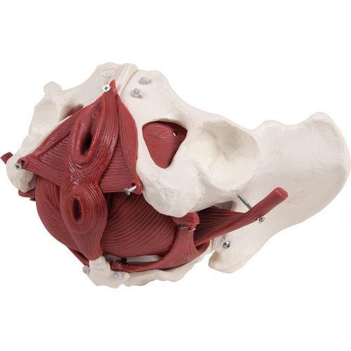 pelvic floor model / training / female / with musculature
