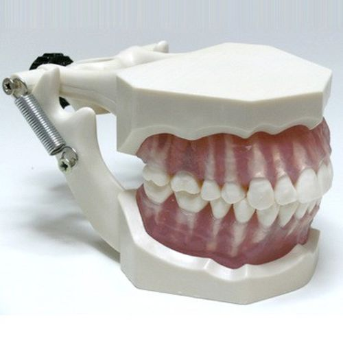 denture model / for teaching / articulated