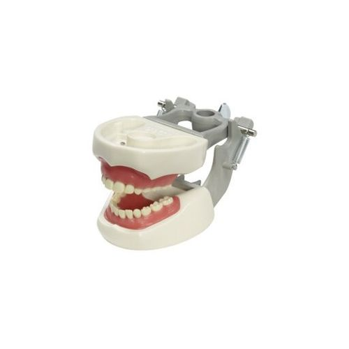 denture model / for teaching / pediatric / articulated