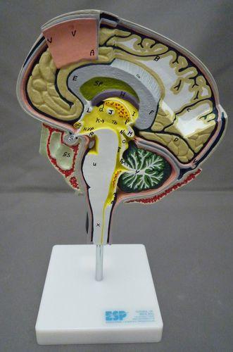 brain model / for teaching