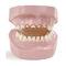 denture model / training / pathology / baby