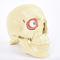 eye anatomical model / for teaching