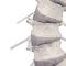 vertebral column model