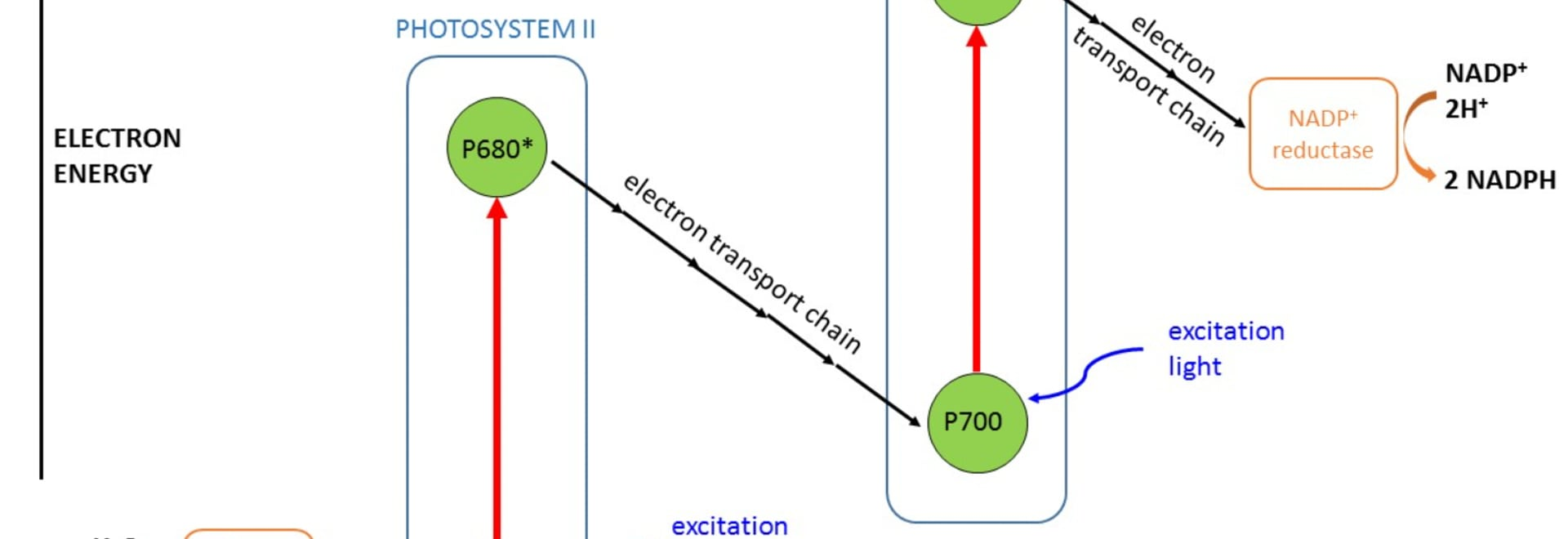 Simplified schematic of the photosynthesis process (Z scheme)