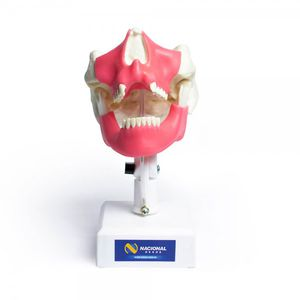 下顎骨解剖模型