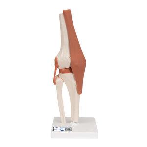 膝解剖模型