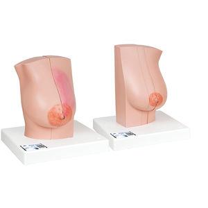胸部解剖模型