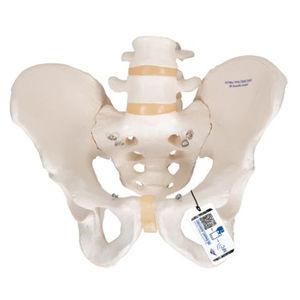 骨盤解剖模型